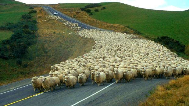give way to sheep