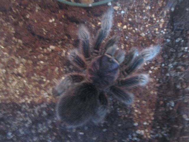 Rosita the tarantula, about to have the crickets over for lunch