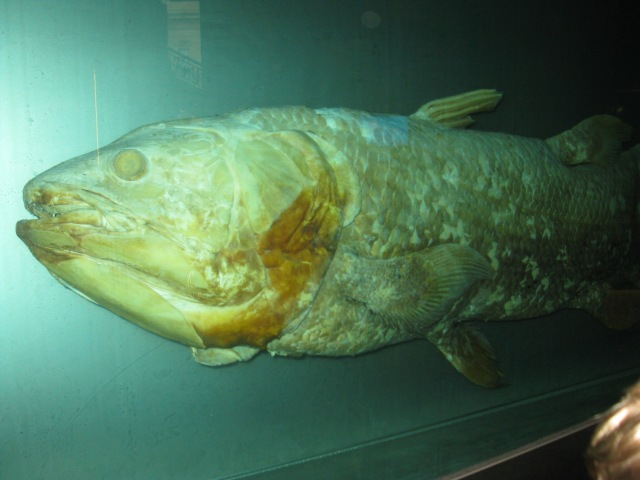 Coelacanth - back from the dead